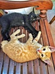 """YEZ, CAN WE HALP U?"" 😺 (stratman² (2 many pix!)) Tags: iphone6 kittens katzen chat gato kucing cutecats kitteh"