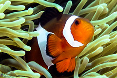 """Clown in anemone • <a style=""""font-size:0.8em;"""" href=""""http://www.flickr.com/photos/126602711@N06/34576189023/"""" target=""""_blank"""">View on Flickr</a>"""