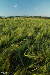 First Day of Summer 2017 (martin_king.photo) Tags: growup growing growingup firstsummerday first summer day summerday firstdayofsummer2017 firstdayofsummer 2017 barley winterbarley spring springbarley greed yellow greefields farmlandview farmland view green land greenland fields greenfields lazy clouds highlands highlandsregion vysocina sky scenery wideanglelens scene landschaft hills hillylandcaperegion home minimalism minimalismlandscape field simplelines simple lines landscape sceneryshooting czech czechrepublic simply fieldscape athinkingplace thinking place beautiful beauty martin king photo weather countryside naturpur summerishere