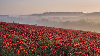 Wiltshire Poppies