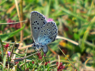 Large Blue Phengaris arion