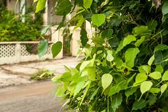 Vedado, La Habana, Cuba 2010 (takasphoto.com) Tags: 50mm 50mmf14 ais america caribbean color cuba green lahabana lens lifestyle nikkor nikkor50mmf14aislens nikkorclassiclens nikkormanualfocuslens nikkorprimelens nikon nikonnikkor50mmf14aislens nikonoldschoollens nikonprimelens photography prime primelens street streetphotography vedado verde みどり ストリートスナップ ニッコール 緑 緑色 翠