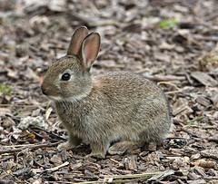 Baby Wild Rabbit (Bogger3.) Tags: babyrabbit venupool canon600d tamron150x600lens wild coth sunrays5 coth5
