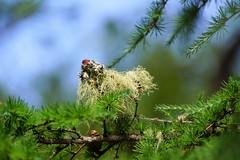 Sheep in tree.(Looks like.) (artanglerPD) Tags: larch tree lichen branch