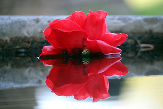 A Rose on the Water