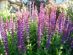 Enjoying Summer Gardening .. (Mr. Happy Face - Peace :)) Tags: purple floral flowers gardening albertabound cans2s art2017 greenthumb gardener htf wtbw