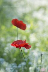 poppy (MikaJC) Tags: bbg flowers lobulariamaritima  sweetalyssum poppy