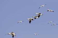 Snow Geese Flight (lennycarl08) Tags: snowgeese birds waterfowl sacramentonwr