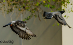 ARW-1589 (Sunil - Bhoj) Tags: birds pigeons nature outdoor sonya7r