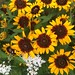 c_blackeyed_susans