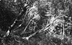 Dark green (Arne Kuilman) Tags: castricum trees forest kentmere kentmere100 iso100 blackandwhite homedeveloped rodinalspezial rodinal 135 yashica yashica35gx gx k100 scan epson v600 1200dpi 354311 film believeinfilm rangefinder manualfocus noordhollandsduinreservaat