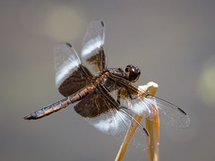 Widow Skimmer (tresed47) Tags: 2017 201706jun 20170621springtonmacro canon7d chestercounty content dragonflies folder insects june macro pennsylvania peterscamera petersphotos places season spring springtonmanor takenby technical us widowskimmer ngc npc