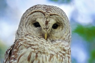 Portrait of a Barred Owl (r)