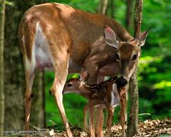 Whitetail Deer (mikerhicks) Tags: brentwood canoneos7dmkii hiking nature oakhillestates photography radnorlake radnorlakestatepark spring tnstateparks tamron28300mmf3563divcpzd tennessee tennesseestateparks usa unitedstates whitetaildeer wildlife outdoors exif:isospeed=1000 exif:lens=tamron28300mmf3563divcpzda010 exif:focallength=300mm camera:make=canon geo:country=unitedstates exif:aperture=ƒ63 geo:location=oakhillestates geo:state=tennessee geo:lon=8680319 camera:model=canoneos7dmarkii exif:model=canoneos7dmarkii geo:lat=36057036666667 geo:city=brentwood exif:make=canon