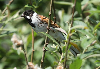 REED  BUNTING ...Male....North Norfolk