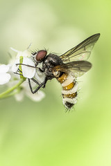 Fly and its fungus (MarkoVeinbergs) Tags: mushroom fly fungi gungus parasite parasitic flower white green insect dead host mold wings sickness ill infection infected