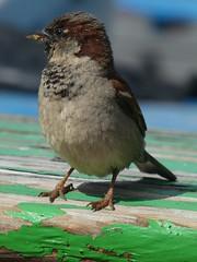 Copenhagen House Sparrow..... (tvedepigen) Tags: sparrow decay green beautifulbird summertime citylife colors housesparrows copenhagen city animals birds urbannature urban