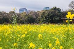 どこでも 君 を 探した (Blue Nozomi) Tags: hama rikyu niwa garden public japan tokyo yellow green spring rapeseed