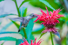 06252017-54-1 (Bill Friggle Photography) Tags: ruby throated hummingbird flower plants feeding hovering flying middlecreek middle creek wildlife management area wma middlecreekwma middlecreekwildlife