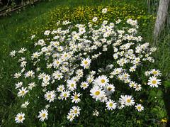 Summer flower (Mrs.Snowman) Tags: prestekrage oxeyedaisy lawn summerhouse norway westernnorway