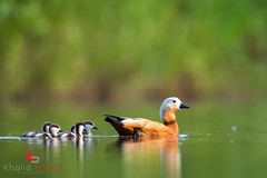 Ruddy Shelduck (Tadorna ferruginea) 赤麻鸭 chì má yā (China (Jiangsu Taizhou)) Tags: nikon d5 afsnikkor800mmf56efledvr birds 2017 china birdsofchina jiangsu nanjing 江苏南京 wildlife birding shorebird ruddyshelduck tadornaferruginea 赤麻鸭 chìmáyā ngc nationalgeographic birdwatching birdwatcher forest lake pond nature 800mm