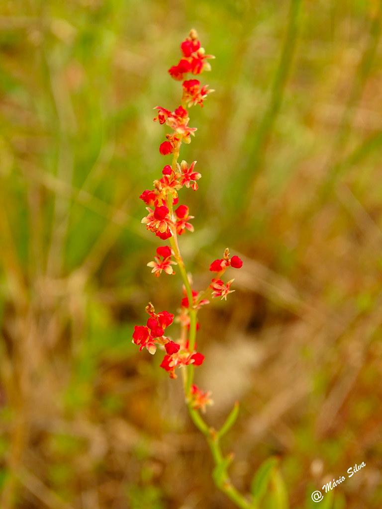 Águas Frias (Chaves) - ... minúsculas flores campestres ...