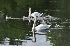 I'll go first! (magaroonie) Tags: swans cygnets straitonpond midlothian