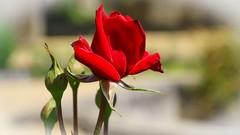 The Name of the Rose (YᗩSᗰIᘉᗴ HᗴᘉS +6 500 000 thx❀) Tags: red rose redrose flower macro villerslaville nature hensyasmine belgium belgique
