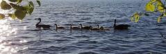 family (thomas.erskine) Tags: 201706071851242teecrop 2017 jun summer afternoon ottawa river ducks pano intothesun