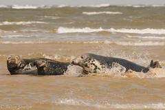 Mermaids (antonsrkn) Tags: seal grey gray halichoerus grypus ocean norfolk water beach sunshine outdoors wild wildlife nature europe uk waves nikon telephoto animal aquatic