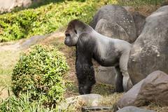 2017-06-05-10h26m58.BL7R6814 (A.J. Haverkamp) Tags: bokito canonef100400mmf4556lisiiusmlens rotterdam zuidholland netherlands zoo dierentuin blijdorp diergaardeblijdorp httpwwwdiergaardeblijdorpnl gorilla westelijkelaaglandgorilla dob14031996 pobberlingermany nl