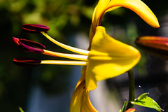 golden lily - the corona of kings (Moods Photography) Tags: lily gold corona bloom spring king charm