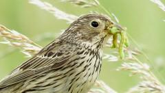 Corn Bunting (Embiriza calandra) (Alan McCluskie) Tags: cornbunting bird avian grassland nature wildlife wiltshire bridgecamera canonpowershotsx60 buntings barburycastle birdfeeding