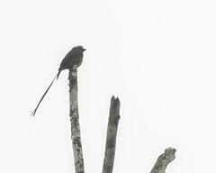Long-tailed Tyrant (J.B. Churchill) Tags: birds costarica flycatchers heredia ltty laselvaotsreserve longtailedtyrant places taxonomy cr laselva