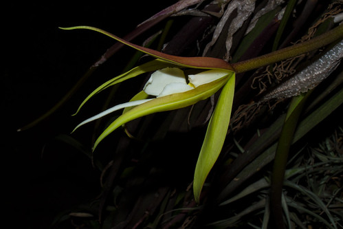 Epidendrum (Coilostylis) parkinsonianum