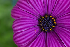 Osteospermum (habzamaphone) Tags: osteospermum africandaisy flower