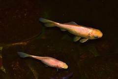 guld eller koi? (karinwigroth) Tags: fish pond damm fisk rosa vatten