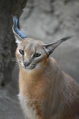 eriezoogrp2DSC_0145 (lwolfartist) Tags: caracal cat feline mammal animal nature photo