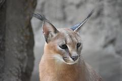eriezoogrp2DSC_0117 (lwolfartist) Tags: caracal cat feline mammal animal nature photo