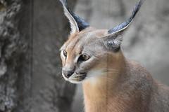 eriezoogrp2DSC_0104 (lwolfartist) Tags: caracal cat feline mammal animal nature photo