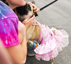 Pug On Parade (SheffieldStar) Tags: bc britishcolumbia canada celebration construction everybody july92017 march pacificnorthwest prideparade queer vancouverisland victoria victoriagayprideparade city costume dog draq goodtime happy kiss localperspective love mytown people summer puppy pug leash embrace