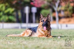untitled-2-197 (jim_lamy) Tags: echo schutzhund ipo gsd germanshepherddog workingdog dogsport