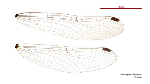 Cordulephya divergens female wings