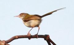 Common Tailorbird (Orthotomus sutorius) (Balaji Bharadwaj) Tags: prinia pondicherry tailorbird