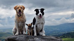 Keeva and her boys (lisheeny) Tags: chihuahua labrador border collie dog pets canine stanage edge walk derbyshire littledoglaughedstories