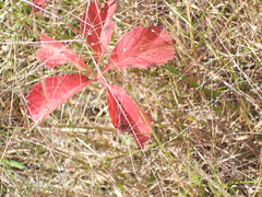 Autumn, Eau Claire, Wisconsin. Poison Ivy???? (yusuf a. dadabhoy) Tags: wisconsin poisonivy poison autumn ivy red