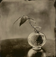 Haven's Sprout (angiebrockey) Tags: angiepemberbrockey silverandglass wetplate wetplatecollodion bwphotography lfphotography lfcamera largeformat analogphotography analogphoto sepia nature glassvase roots plant minimalist collodion stilllife fineart fineartphoto blackandwhite tintype