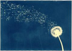 Streaming (batuda) Tags: cyanotype blueprint alternative altprocess analog analogue herlitz watercolor paper texture 20x30 toned curcuma turmeric blue yellow plant plants dandelion taraxacumofficinale seed seeds graphic abstract contactprint print color colour photogram botanical nature šinkūnai tauragnai utena lithuania lietuva