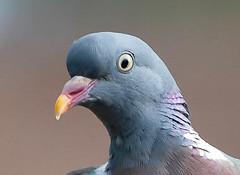 Wood Pigeon head