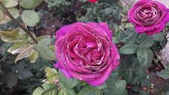 Roses, à Baltchik (Véronique3) Tags: roses baltchik balchik balcic балчик българия